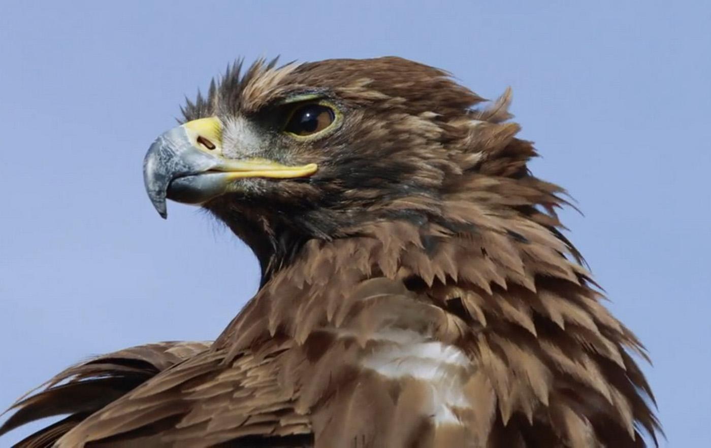 Der Schrei des Adlers Blautöne - Audiopostproduktion Tonstudio Wien